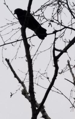 crow-november