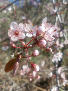 plum_branch