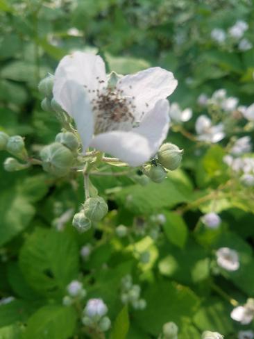 blackberry_patch