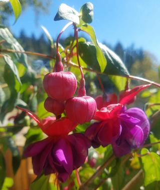 fuschia_blossom