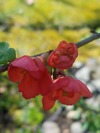 red_quince