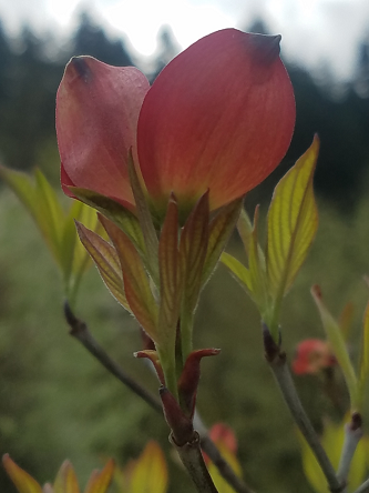 red_dogwood_bract