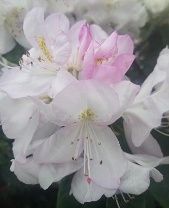 may_pink_rhoddie