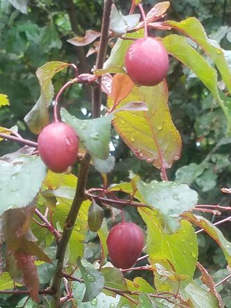 rain_plums