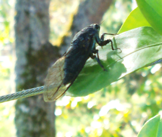 orchard_cicada