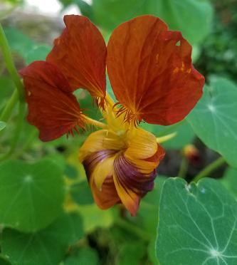 tiger_nasturs_flower