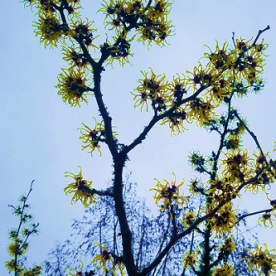 witchhazel_yellow