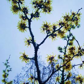 witchhazel_yellow