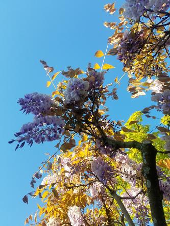 wisteria_sky