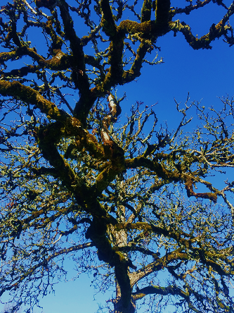blue_oak