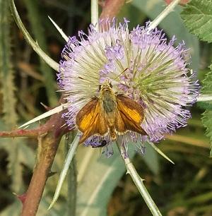 thistle_moth